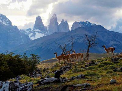 Lamy guanaco v NP Torres del Paine