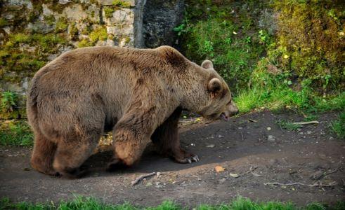 Náchodský medveď v hradnej priekope