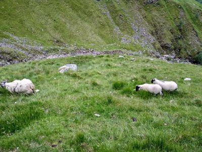 Ovce v papradí