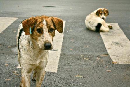 Pouličné psy v Bukurešti