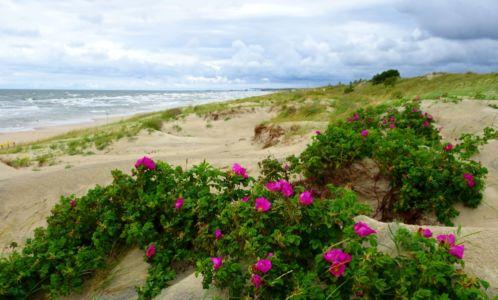 Ružami porastené duny, Neringa, Litva | Autor: Schevka