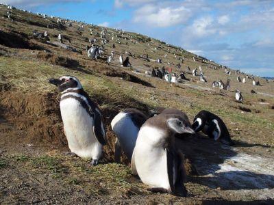 Tučniaky na Magdaléninom ostrove