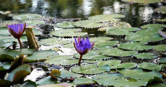 Hévíz: Na jazere kvitnú lekná